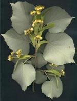Herboplanet Tilia Tomentosa M.S.A. 50ml