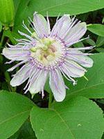 Tsa Passiflora Incarnata 50ml
